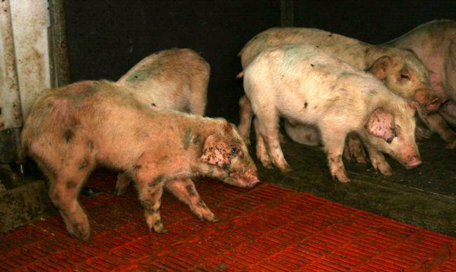 Топ-5 найстрашніших інфекційних захворювань свиней: попереджений - значить озброєний