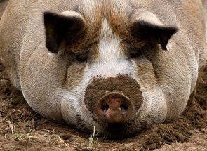 Топ-7 найкращих м`ясних порід свиней