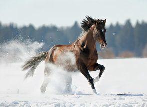 Тракененская кінь: із забуття на світову арену