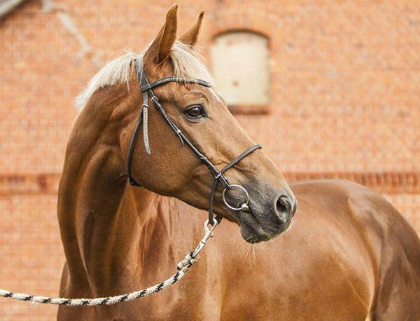 Тракененская кінь на тлі будинку