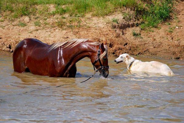 Кінь і собака в річці
