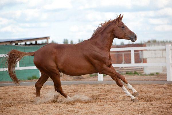 Рудий кінь піднімається в галоп