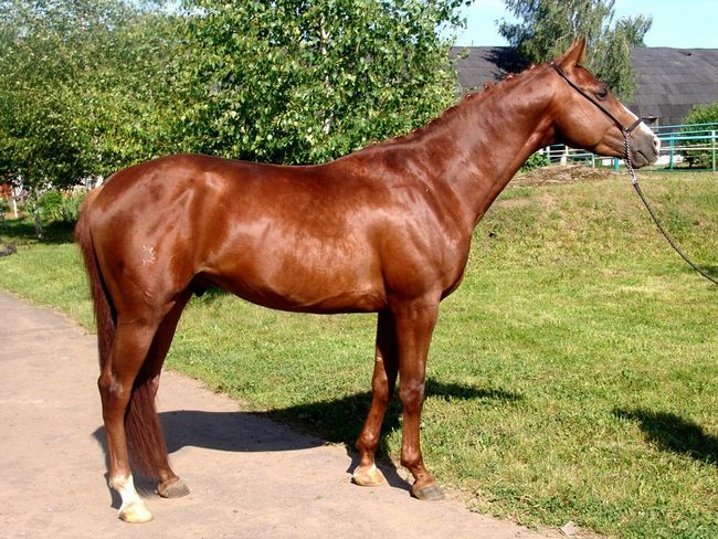 Тракененського кінь рудої масті