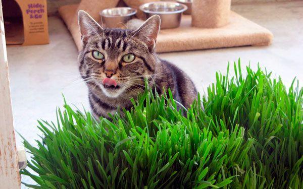 Трава для котів: користь і правила вирощування