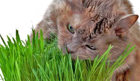Трава для котів.