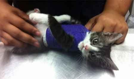 Травми грудної клітини у кішок.