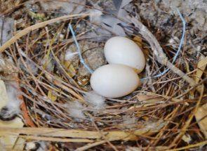 Зворушливий процес насиджування у голубів