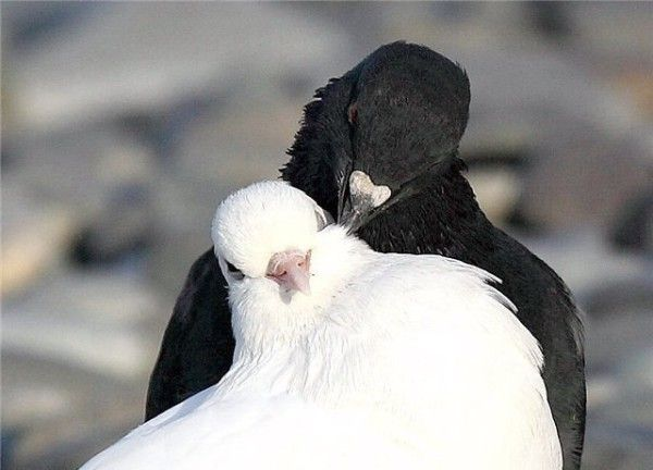 Пара голубів під час залицянь