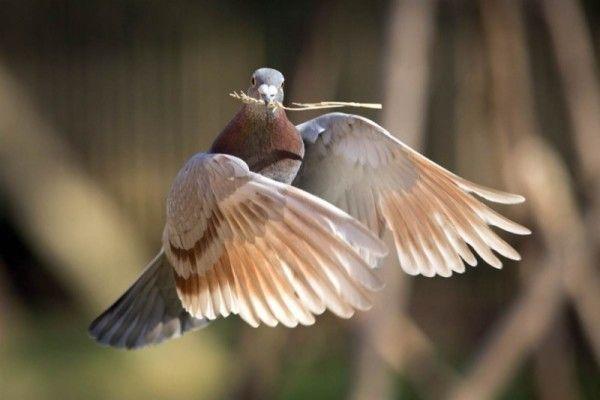 Голуб збирає матеріал для гнізда