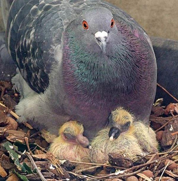 Голубка і два Голубенка в гнізді