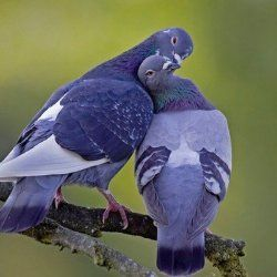 Пара закоханих голубів