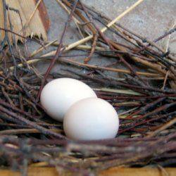 Пара яєць голуба в гнізді