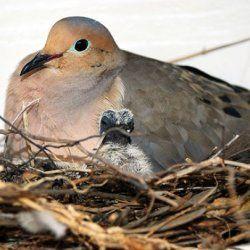 Самка голуба і пташеня