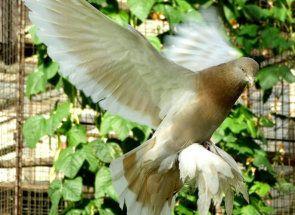 Туркменський агаран - елітна і красива порода бойних голубів