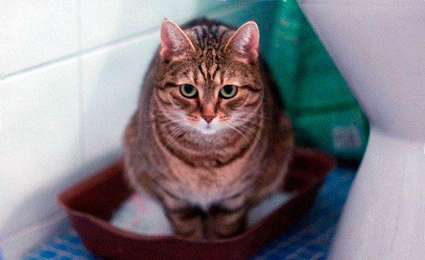 У кота пронос: як лікувати розлад шлунка домашнього вихованця