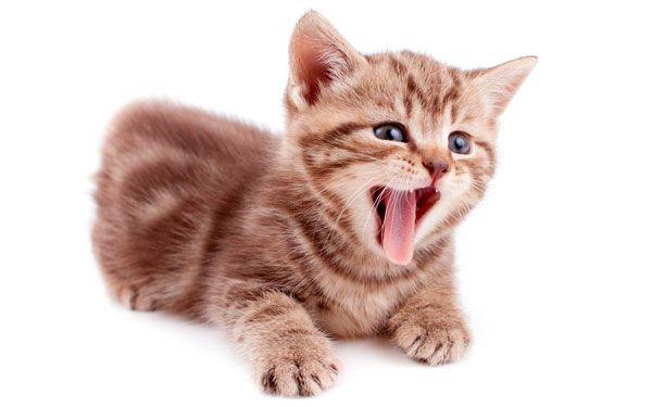 У кошеняти блювота: що потрібно знати власникові