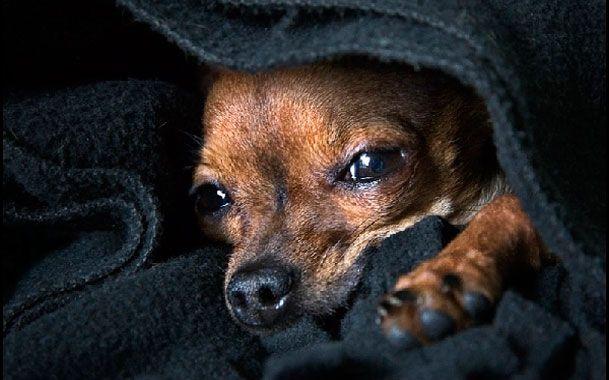Хвора пироплазмозом собака