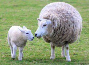 У вас народився малюк вівці? Дізнайся як його називають