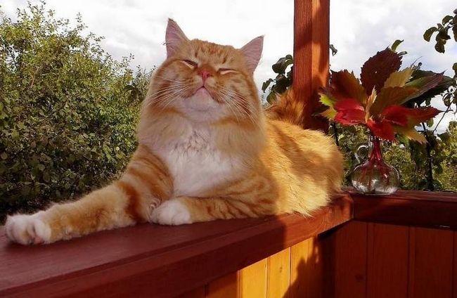 Вчені винайшли еліксир молодості для кішок.