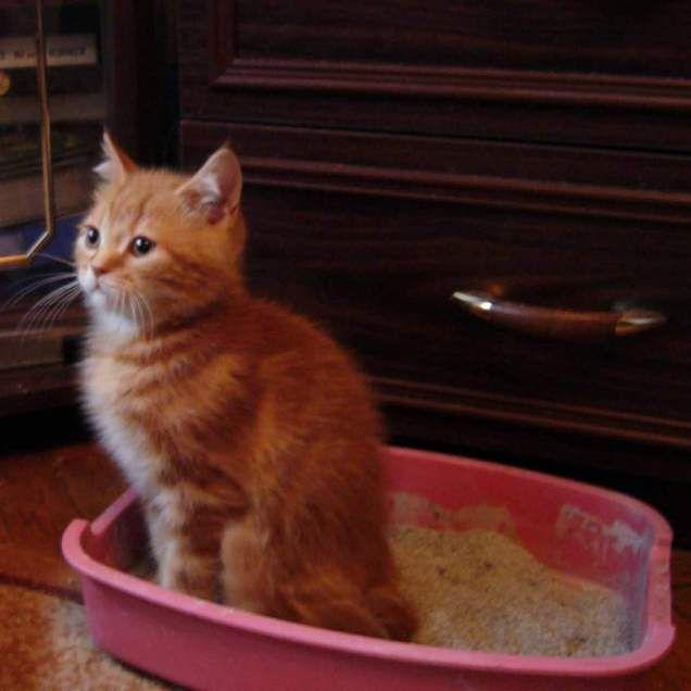 Вчимо кошеня ходити в лоток: основні правила