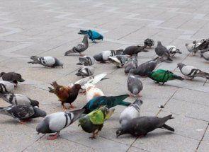 Вчимося ловити голубів правильно