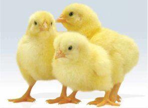 Вчимося визначати статеву приналежність у маленьких курчат