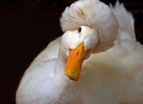 Вчимося відрізняти чубатих качок