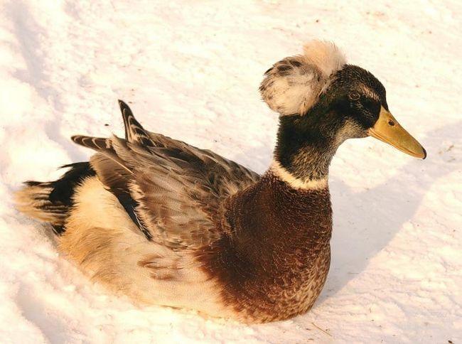 Українська чубата качка на снігу
