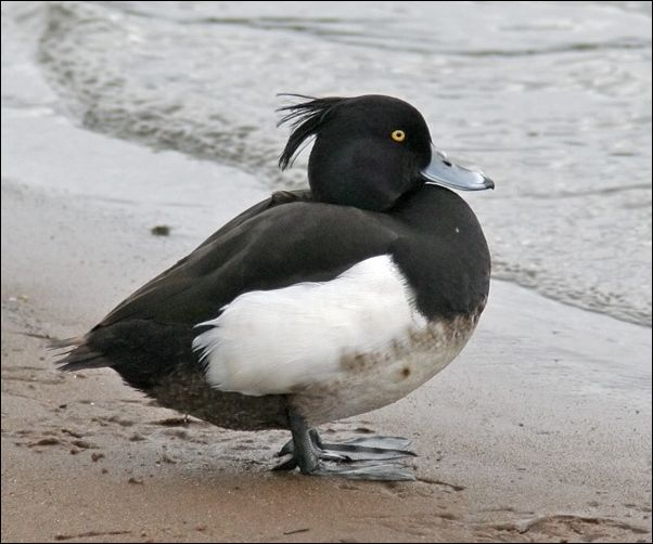 Качка Чубата чорніти біля моря
