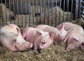 Вчимося будувати загін для свиней і видаляти гній!