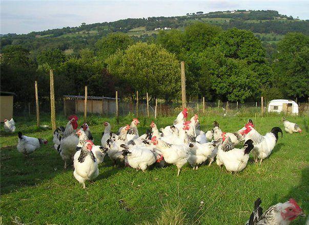 Кури Суссекс гуляють в поле