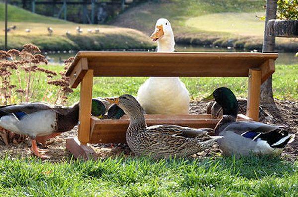 Домашні качки біля годівниці