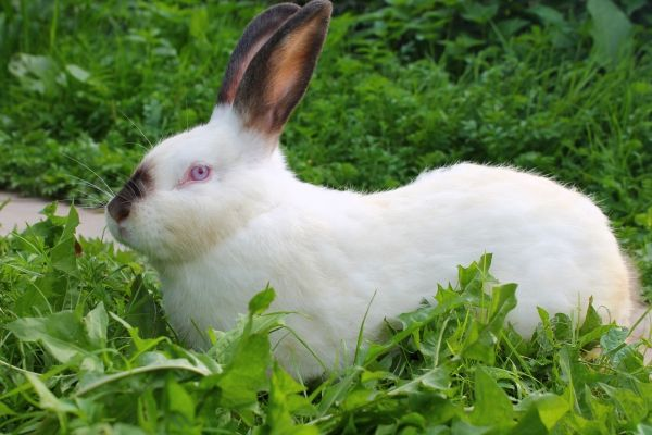 Догляд та утримання каліфорнійських кроликів