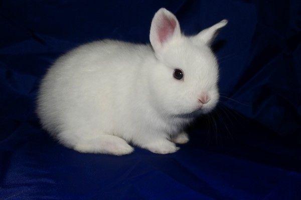 Білий крольченок Каліфорнійської породи