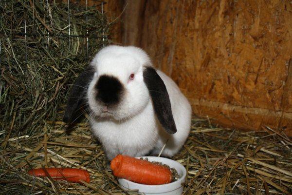 Морквина і корм в мисці перед кроликом