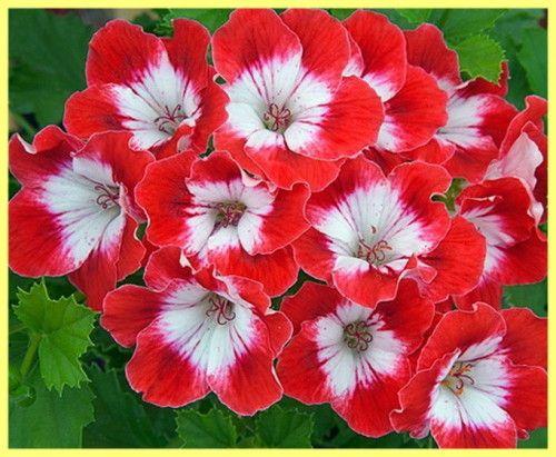 Догляд та вирощування пеларгонії в домашніх умовах