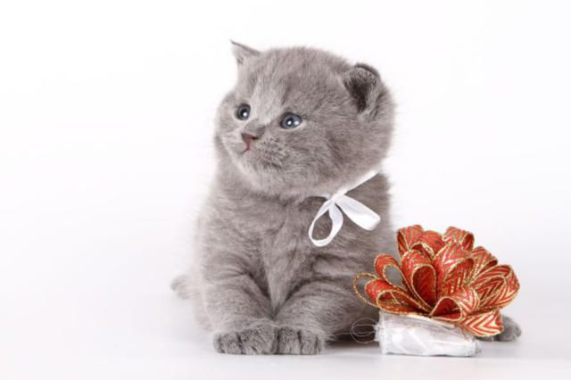 британський кошеня