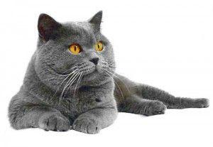 Догляд за британською кішкою