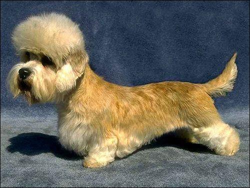 Денді-динмонт-тер`єр, Фото фотографія собаки картинка