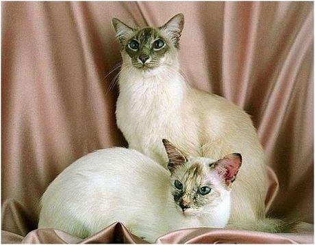 Догляд за шерстю балийской кішки