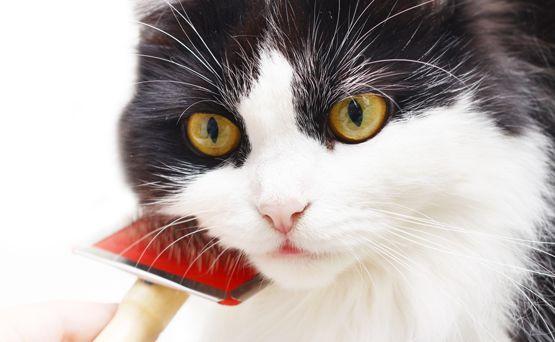 Грумінг британських кішок