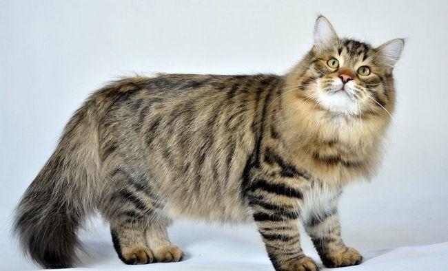 Сибірська кішка має шикарну шерсть і підшерсток, які вимагають ретельного догляду