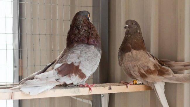 Миколаївські голуби на дерев`яній жердині