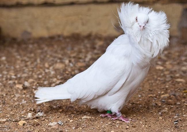 Голуб породи якобінії білого забарвлення