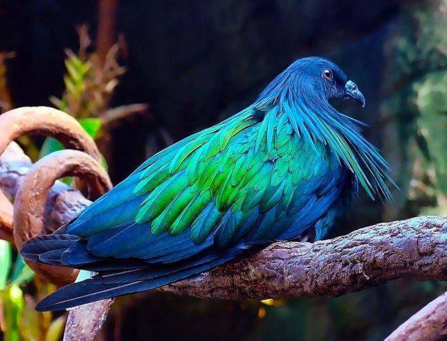 Нікобарські голуб на гілці дерева