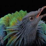 Гривистий голуб з відкритим дзьобом