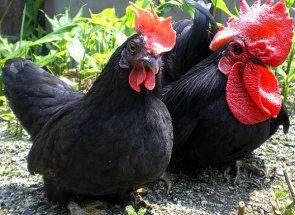 Прикраса пташиного двору - характеристика курей породи бентамки