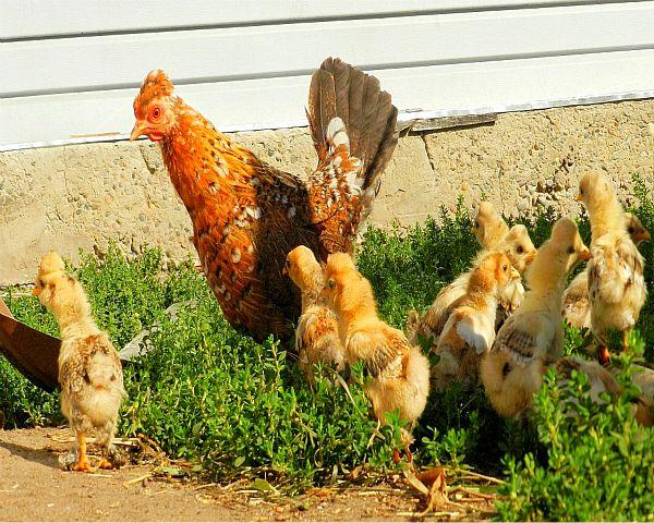 Бентамки з курчатами