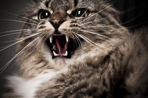 Укус кішки - симптоми інфікування, лікування