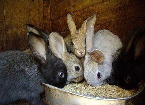 Покращуй своє господарство - використовуй комбікорм для кролів
